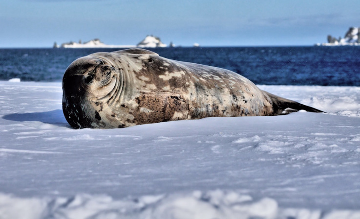 Weddellrobben sind echte Antarktika-Bewohner und leben das ganze Jahr an der Eiskante und im