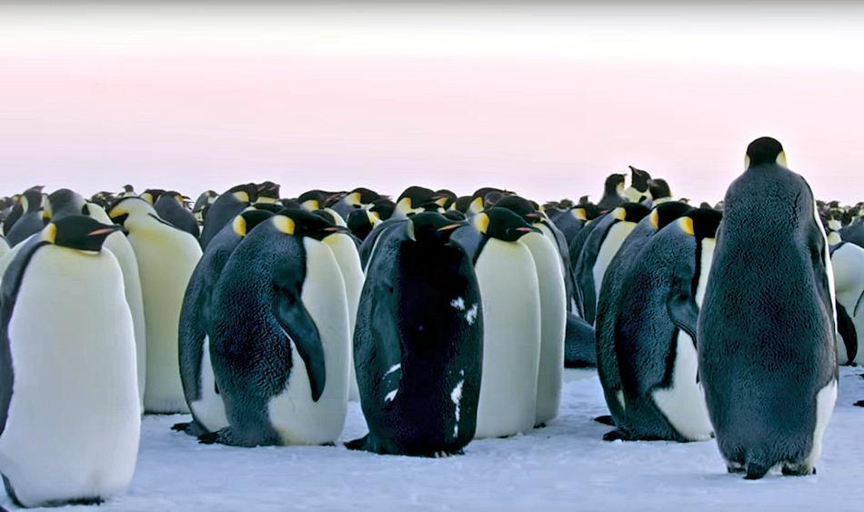 Das Bild zeigt den schwarzen Kaiserpinguin mitten in seinen Artgenossen. Sein schwarzes Gefieder ist nur von einige weissen Flecken unterbrochen. Ansonsten scheint das Tier ganz normal einem Kaiserpinguin zu entsprechen. Bild: Youtube / BBC