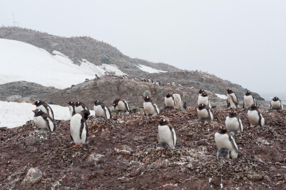 Eselspinguine, Trinity Island, Antarktische Halbinsel, ©Vreni Gerber