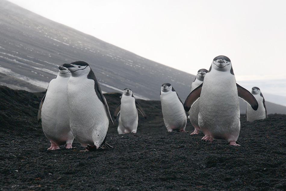 004 South Sandwich Islands vollgefressen kommen Zuegelpinguine vom Fischfang zurueck