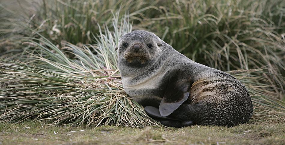 ... doch die Zahl der Robben hat sich nach einem rigorosen Fangstop wieder erholt. Heute gehören Pelzrobben wieder zum gewohnten Bild subantarktischer Inseln.