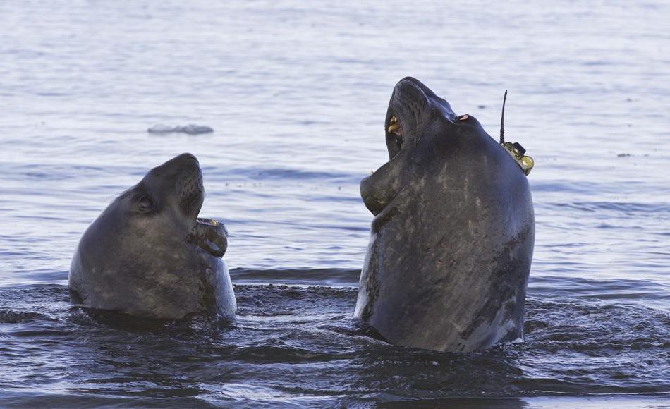 Ein antarktischer See-Elefant trägt ein kleines ozeanographisches Messinstrument auf dem Kopf. Das Instrument sammelt Daten während das Tier zur Nahrungssuche in die Tiefe taucht. Es ist nur angeklebt und fällt während des jährlich stattfindenden Fellwechsels ab, wenn sich Haare und äußere Hautschichten lösen. Bild: Clive R. McMahon