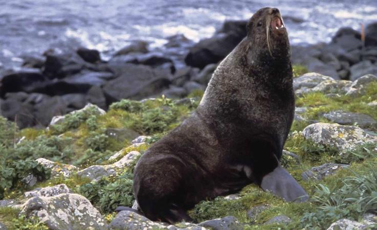 Einheimische Fischer in Alaska wussten seit langem, dass Jungrobben mit dem Wind schwimmen, anstatt