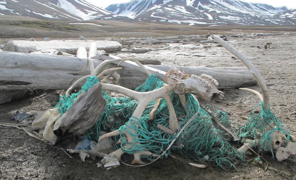 Nicht nur kleine Plastikteile in der Nahrungskette sind eine Gefahr für Tiere. Auch grosse Teile wie Treibnetze im Meer bilden eine riesige Gefahr sowohl für Meerestiere und Landtiere wie Rentiere, die sich in den angetriebenen Netzen verheddern und sich nicht mehr bewegen können. Bild: Elin Lien / Sysselmannen