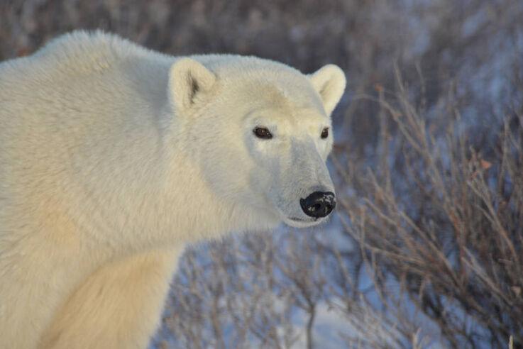 Eisbär, Hund oder Auto? Ein Überwachungsradar soll die Arktisgemeinden über sich nähernde